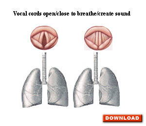 Vocal cords open/close to breathe/create sounds